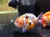 Goldfish - Ranchu