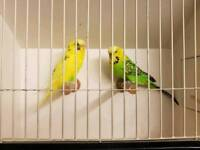 Beautiful budgies for sale