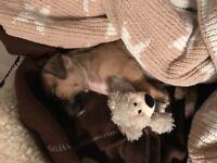 Pug/jack Russel female puppy 10 weeks old