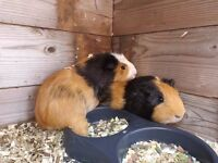 Guinea pigs needing forever homes