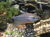 Gourami fish x4 for sale. Healthy and active.