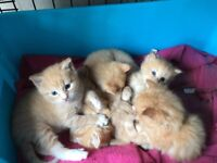Fluffy half Norwegian forest kittens for sale