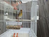 Siberian Gold Finch Mule + Cage