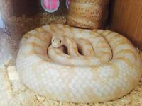 Albino corn snake w BIG VIV ALL SET UP + King snake!