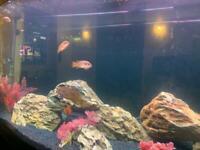 5 red Jewel Malawi fish great fish bargain