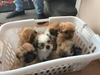 Shih tzu girl puppies