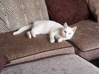MISSING CAT - WHITE MALE