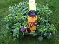 3 x 24 Pack Summer Pansy Plants Mixed Colours Garden Ready rrp £15