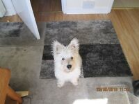 4 month old west highland white terrier