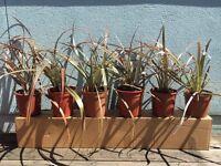 6 x wide blade Decorative Grasses plants in pots