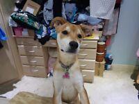 6 Month old Rottsky (Rottweiler Husky cross) needs good home