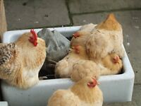point of lay pekin bantam pullets for sale various colours