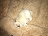 Teddy bear, Miniature, kC registered pomeranian (champion bloodlines)