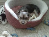 31/2 month yorkshire terrier boy with pedigree chart all injects done microchipped