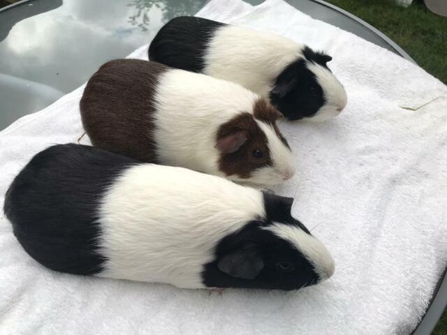 Female Guinea Pigs For Sale 1 Left In Exeter Devon Gumtree