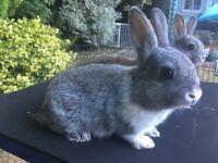 Baby Rabbit netherland dwarf x lionhead