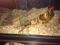 Corn snake with vivarium and accessories