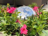 Mandevilla trailing flower plants -- good for hanging baskets