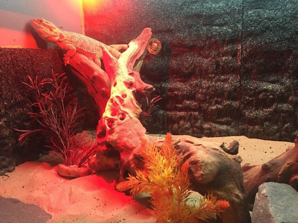 Fully equipped Vivarium with 2 year old male Bearded Dragon - will consider nearest cash offer