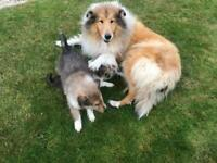 Rough collie x 2 females available champion pedigree