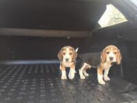 Lovely litter of beagle puppies