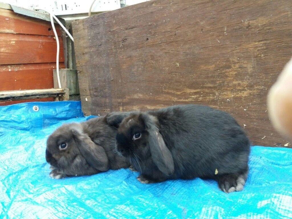 2 female dwarf lop baby rabbits