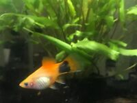 Platy fry 4 month old
