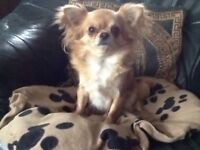 Adult chihuahuas long haired ,lovely natures .