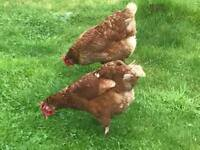 Laying Chickens