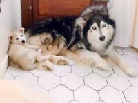 Husky x Malamute puppies soon ready for loving homes