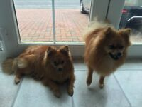 2 POMERANIAN BOYS BROTHERS £1300 for both boys {9 MONTHS OLD}