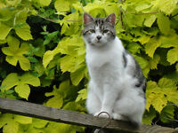 Missing - white and tabby cat 3 year old male