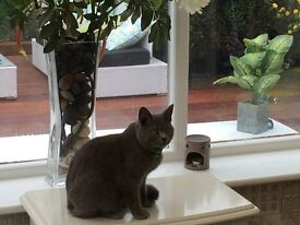 Still missing!!! Demi is a british shorthaired cat