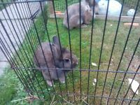 2 beautiful buck rabbits for sale with cage if required