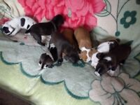 XL Staffordshire Bull Terrier Puppies