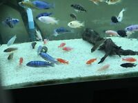 African cichlids fish for sale newham