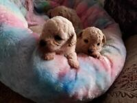 Poochon puppies for reservation