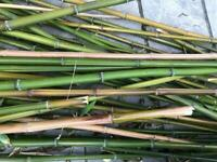 Home grown bamboo canes
