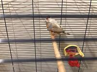3 lovely singing zebra finches only £15 for all 3