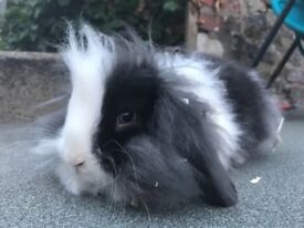 Mini lionlop buck with blue eyes, 14 weeks old, available now