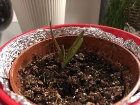 Gasteria Carinata var. Verrucosa – (Miniature, 1 House Plant, Pot size: 12cm, Ceramic pot included)