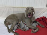 Weimaraner pups for sale