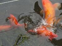 Koi for sale various sizes and colour