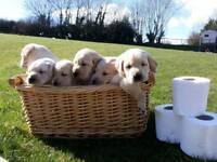 Pure Bred Labrador Pups
