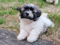 Adorable and playful puppies for sale (Shih Tzu x Bichon Frise)