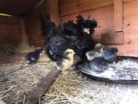 Chicken with 8 chicks for sale