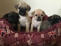 French bulldog x pug puppies