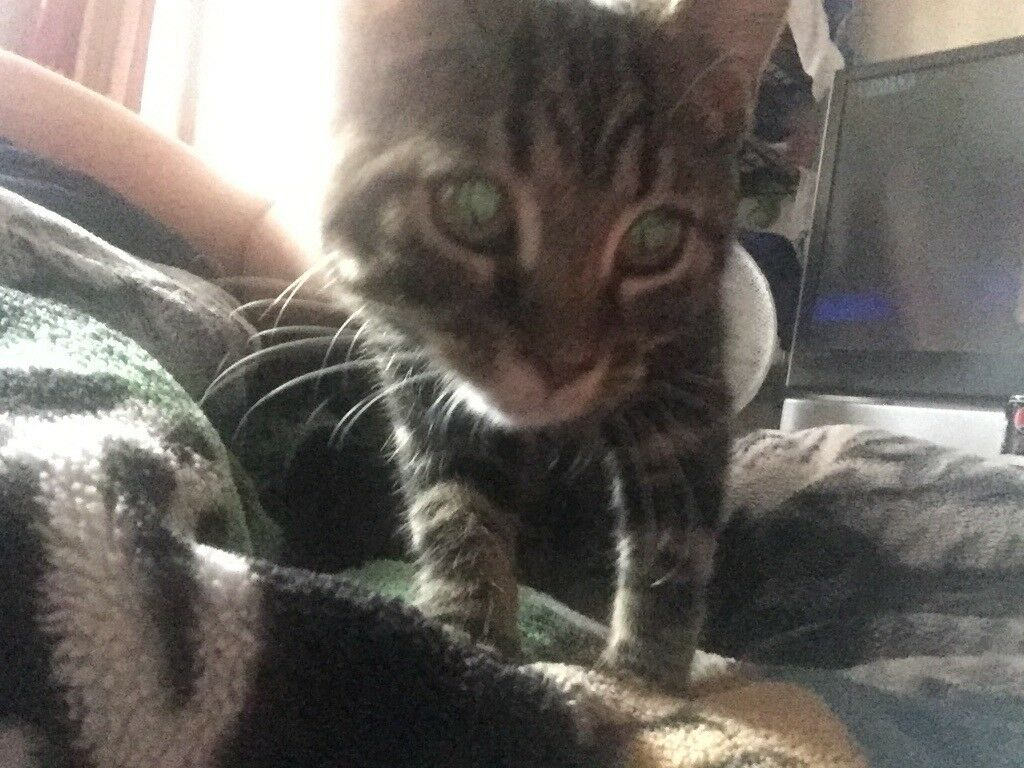 I have a 5 mth tabby kitten girl. £60