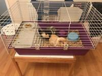 2 guinea pigs and indoor cage