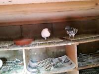 Afghani pigeon